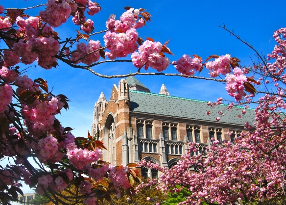 Cherry Blossoms UW